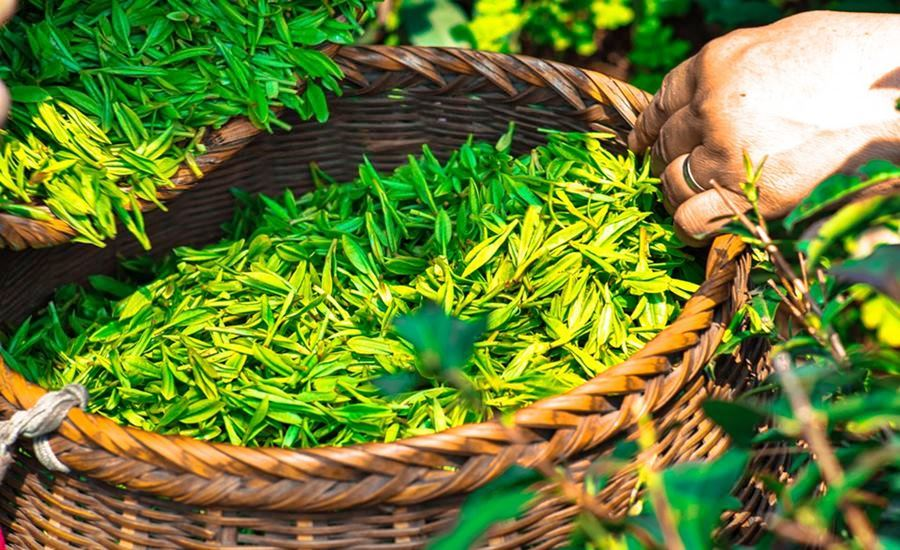 basket with freshly picked green tea leaves