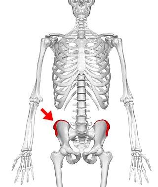 Skeleton showing location of the iliac crest