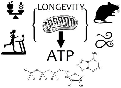 restricted diet and fasting, exercise act on mitochondria in mice and nematodes extending their lifespan, through ATP output.