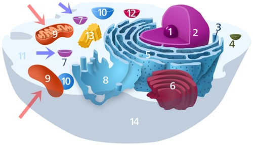 interior of a typical animal cell, with organelles and cellular components